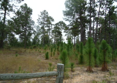 SC Sandhills - a healthy ecosystem with new longleaf pine regeneration