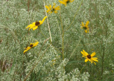 Wild Sunflower and Dog Fennel