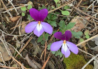 a birdsfoot violet