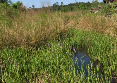 Pickerelweed shines in a swamp in GA