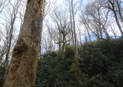 Rare ethereal old growth forest, NC mtns