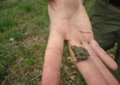Cricket Frog in NC Piedmont