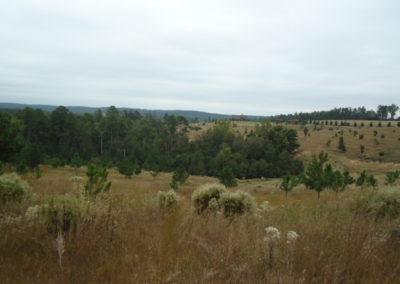 Open Land into Longleaf Pine - Savannah