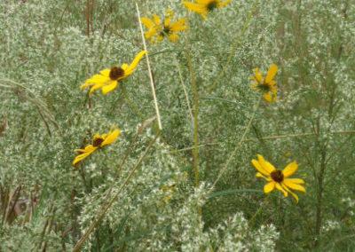 Wild Sunflower and Dog Fennel
