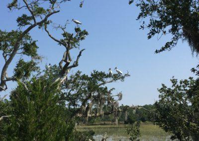 woodstorks, estuary & growing oysters