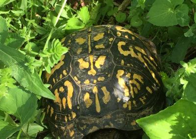 Photo of box turtle