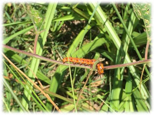 Photo of Gulf fritillary caterpillar eating passionflower vines