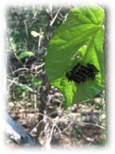 Photo of Milkweed Tussock Moth caterpillars on milkweed leaf